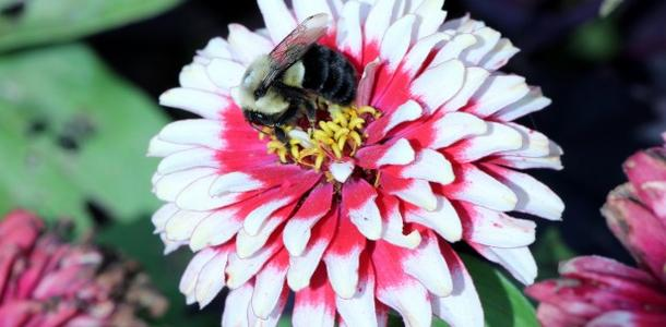 Bee on Flower. Photo: Lilla Frerichs