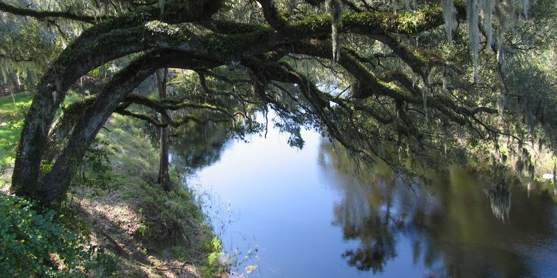 Suwanee River Live Oaks. Photo: Stewart Tomlinson